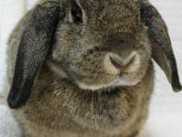 Holland Lop - Chewbacca & Puppy - Small - Adult - Male