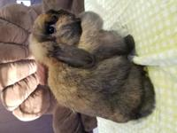 I have an older holland lop doe that is looking for her