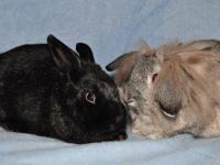 Holland Lop - Jube And Thaddeus - Small - Young - Male