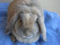 Holland Lop - Maybelle - Small - Young - Female -