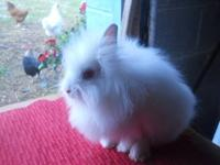 Holland Lop - Nadine - Medium - Young - Female -