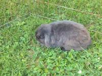 I have a pair of rpedigreed holland lop rabbits that I