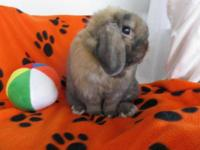 Holland Lop - Peter - Medium - Adult - Male - Rabbit