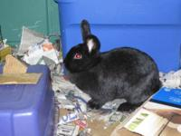 Holland Lop - Pixie - Small - Young - Female - Rabbit