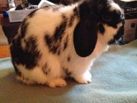 This doe is a broken black holland lop. She is very