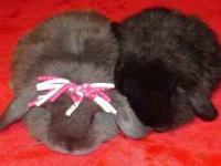 Baby Holland Lop Rabbits Asking for a $25/Rehoming Fee