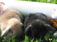 We have Holland Lop baby bunnies for sale, ready for a