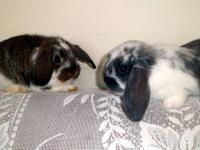 Darling little lop eared bunnies for sale! These cute,