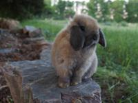 Petit Jean Bunnies is a small rabbitry located at the