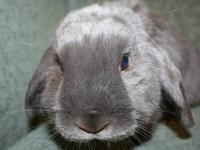 Holland Lop - Shiny - Medium - Adult - Female - Rabbit