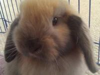 Adorable 5 month old Black Tort holland lop doe comes