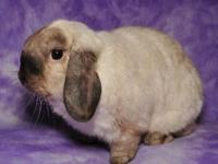 Holland Lop - Warson - Medium - Young - Male - Rabbit
