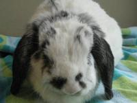 Holland Lop - Zoey - Medium - Adult - Female - Rabbit
