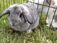 I have 2 Holland Lops for adoption. They are my PETS