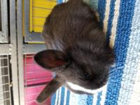 Pure bread Holland lops bunnys they great pets rehoming