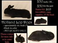 Holland Lop bucks, trying to get these boys together as