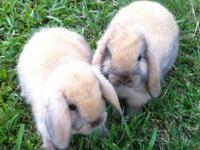 We have four Holland Lop bunnies, they are about 7