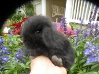 Holland Lop's are a dwarf breed and grown weight