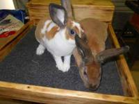 Mini Rex and Holland Lop rabbits $10.00each. .