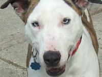 HOLLY is a beautiful Bull Terrier mix.  She was found