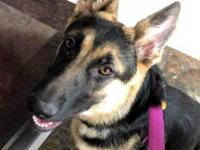 Holly, the 5 1/2 month old Shepherd, is ready to find a