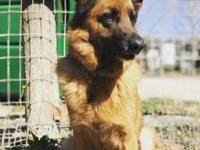 Holly is a super sweet 4y/o beautiful German Shepherd