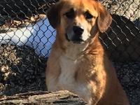 Holly is a 3-4 year old Beagle, Shepard, Golden mix