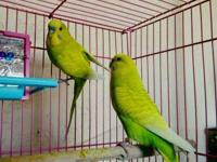Holly & Jolly are a sweet pair of parakeets looking for