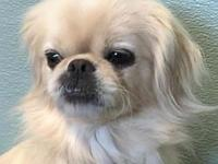 Holly's story Holly is a 3-4 year old Pekingese mix we