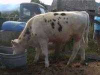 8 month old male Holstein calf, white with some black