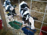 Weaned calves are 200 each big healthy calves 2-5 weeks