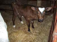 holstein cross jersey bottle heifer. 2-3 weeks old.