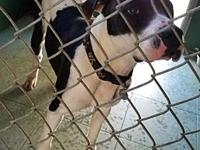 Holstein's story Holstein is a 4-year-old Pit Bull