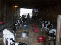 HAVE 40+ CALVES ON MILK PRICE STARTS AT 110.00 EA &