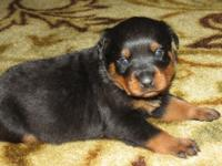 Adorable German Rottweiler Puppies ready for their new