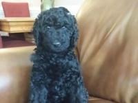 Sweet, HOME RAISED, INKY BLACK, kid basic poodle puppy.