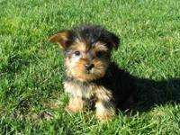 Animal Type: Dogs Breed: Yorkshire Terrier Home raise