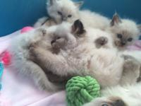 I have 13 weeks old kittens (2 males 1 female) that