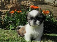 Home Raised Shih Tzu puppies avaibale now!!!!! If
