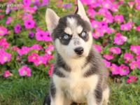 Home raised Siberian Husky puppies. Beautiful males and