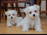 We have a male and female Teacup Maltese puppies for