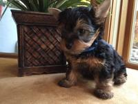 I have male and females Teacup Yorkie Puppies, Our