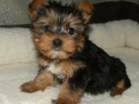 I have yorkie puppies to offer they are well trained