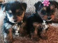I have a male and female Yorkie puppies to offer.they