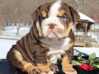 Animal Type: Dogs home train English bulldog Puppies, 2