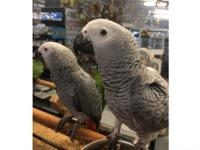 Hand reared Male & female 2 years old African grey tame