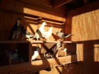 Homing pigeons. Disease free and 2011 NPA banded.  $15