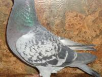 Rare and common colored homing pigeons for sale