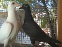 Homing pigeons, $15 perfect feather & health. Text or