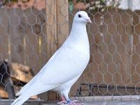 2015 banded pure white homing pigeons. I also have a